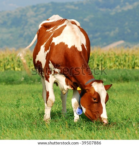 picture of a brown cow grazing on a grass field