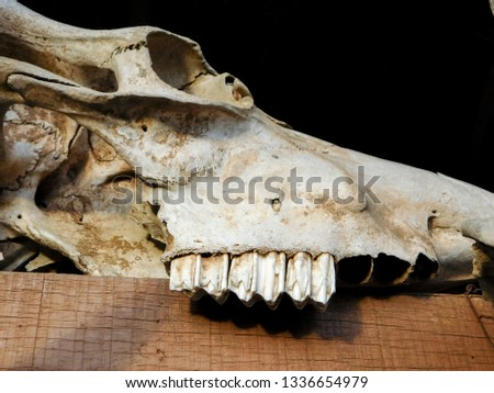 picture of a bull's skull and teeth