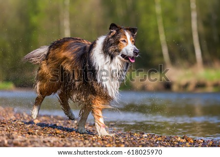 picture of a Collie-Mix dog running at a river