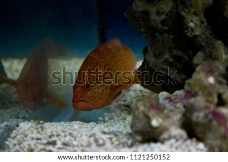 Picture of a coral trout in aquarium