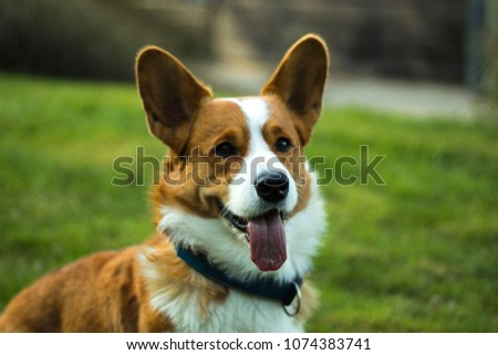 picture of a corgi named Elmer