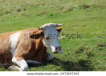 Picture of a cow with weird piercing, shoot in Slovenia.