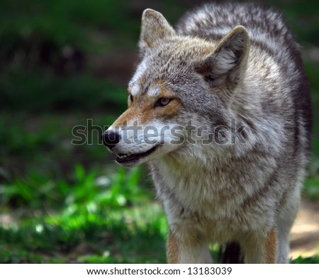 Picture of a coyote