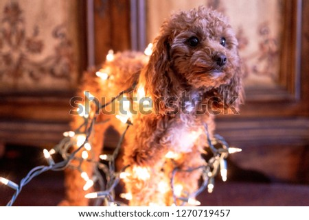 Picture of a cute brown toy poodle wrapped up in Christmas lights