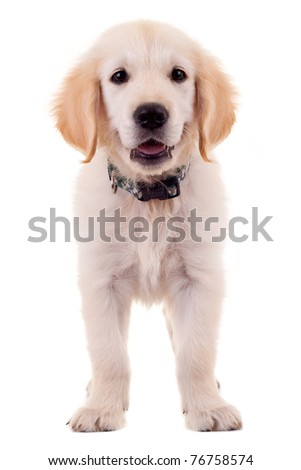 picture of a cute little golden labrador retriever puppy - stock photo