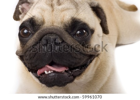 picture of a cute pug face , on white