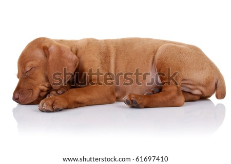 picture of a cute vizsla puppy sleeping on white background