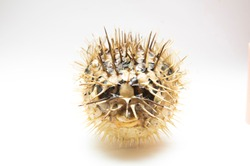 Picture of a dead and dry blowfish with a white background.