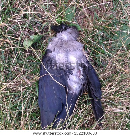 Picture of a dead crow bird. Dead crow raven bowed his head and lies on the ground