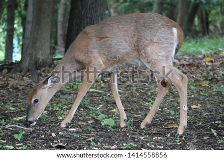 Picture of a deer eating in a public park in the US.