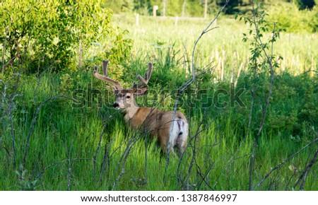 Picture of a deer in Elk Island National Park, Alberta, Canada.