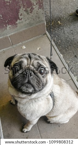 Picture of a dog, Mops or Pug dog