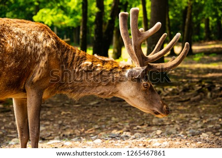 Picture of a elk deer in the woods