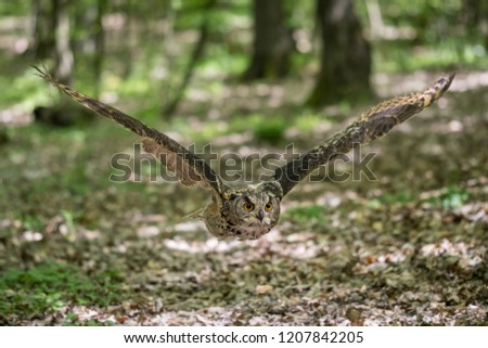 Picture of a Eurasian eagle-owl flying in the woods. lat. Bubo bubo