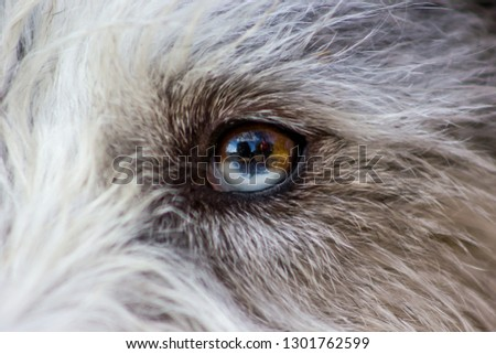 Picture of a fluffy and lovely white and grey puppy of husky, watching focused away and smiling. the eye of this dog has a genetic mutation in which we can see the pupil like half white and half brown