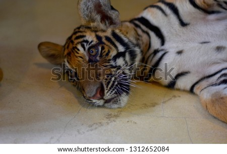 Picture of a four month old tiger.