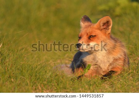 picture of a fox with space for text