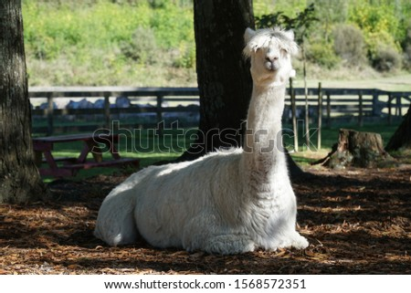 picture of a funny looking alpaca lying in the park in new zealand