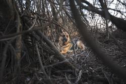Picture of a German Shepherd hidden in the wood.