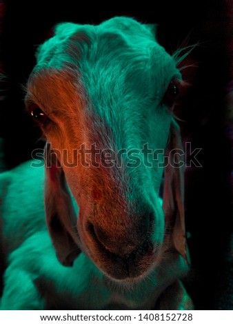 picture of a goat in different lighting ,feels like disco goat