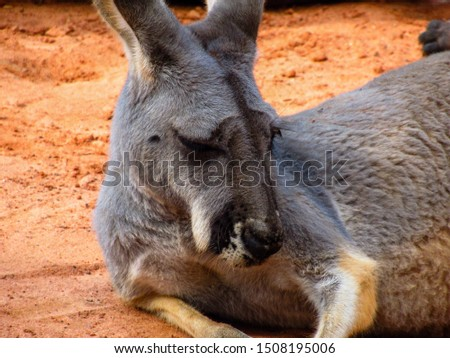 Picture of a gray kangaroo
