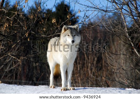 Picture of a Gray Wolf in it's natural Winter habitat