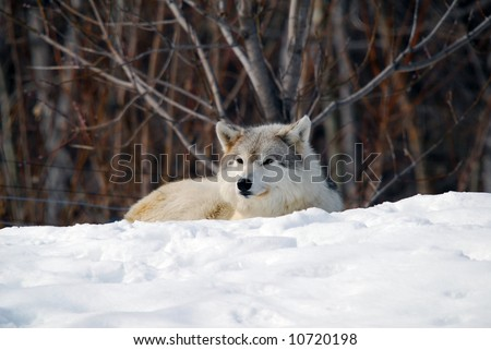 Picture of a Gray Wolfe sleeping in the snow