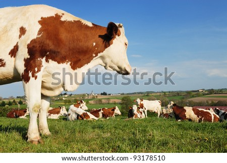 Picture of a group of beautiful cows near a french and typical village, France