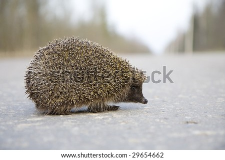 Picture of a hedgehog on the road