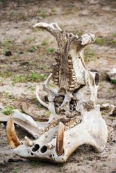 Picture of a hippo skull in Selous Game Reserve, Tanzania, Africa.