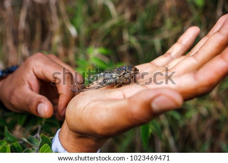 Picture of a huge insect (cicada) on a hand, Inca trail, Peru