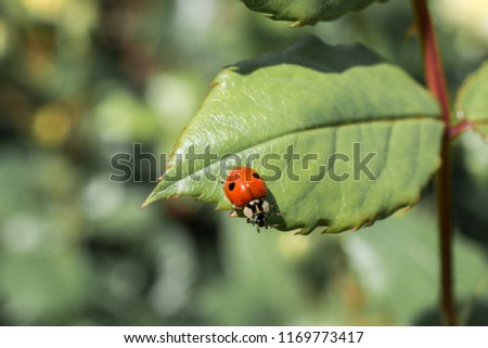 Picture of a Ladybug sitting on a green leaf