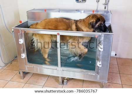 picture of a Leonberger dog in a hydrotherapy station
