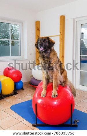 picture of a Leonberger who stands on a training device in an physiotherapy office