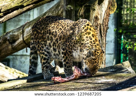 Picture of a leopard