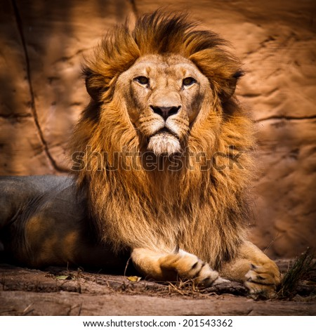 Picture of a lion looking at the camera.