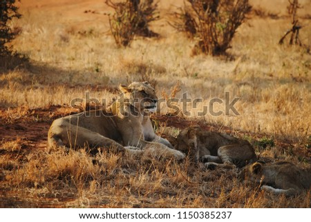Picture of a lioness resting with his family.