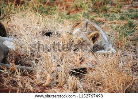 Picture of a lioness sleeping surrounded by tall grass.