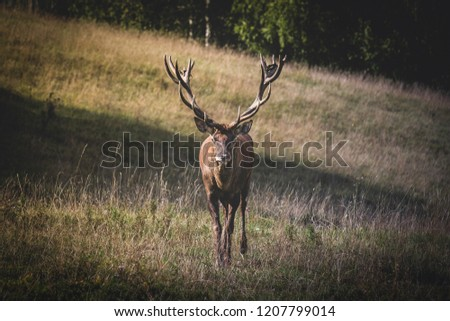 Picture of a male deer face to face with a camera in a field of high grass.