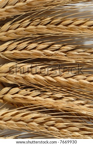 Picture of a mature wheat on a white background