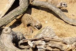 Picture of a meerkat digging a new passage, latin Suricata suricatta
