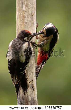 Picture of a mother woodpecker feeding his chick. Dendrocopos major, Family: Picidae, Asturias, Spain Stock photo ©