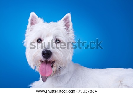 picture of a panting westie , standing against blue background