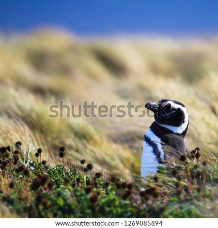 picture of a penguin in patagonia