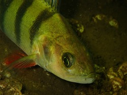 Picture of a perch made while scubadiving