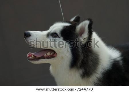 Picture of a piebald siberian husky head