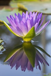 Picture of a pink lotus flower with reflection
