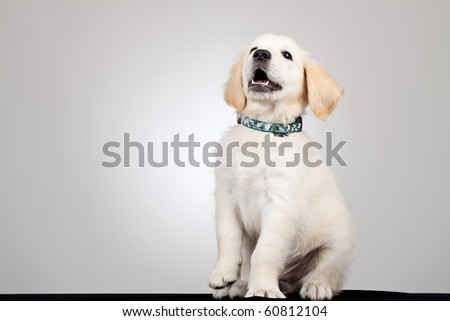 picture of a playful golden labrador retriever puppy