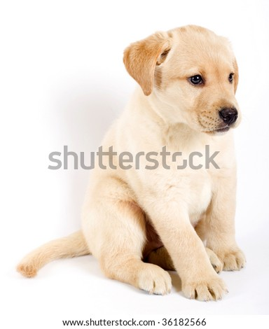 picture of a puppy labrador retriever  on white background