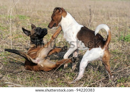 picture of a purebred puppy belgian sheepdog malinois and jack russel terrier playing